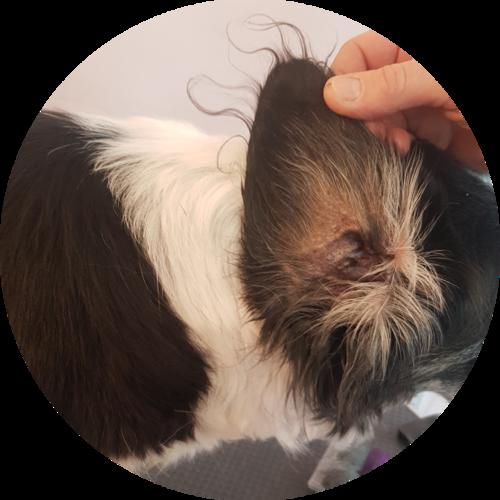 Hundesalon Ohrenpflege